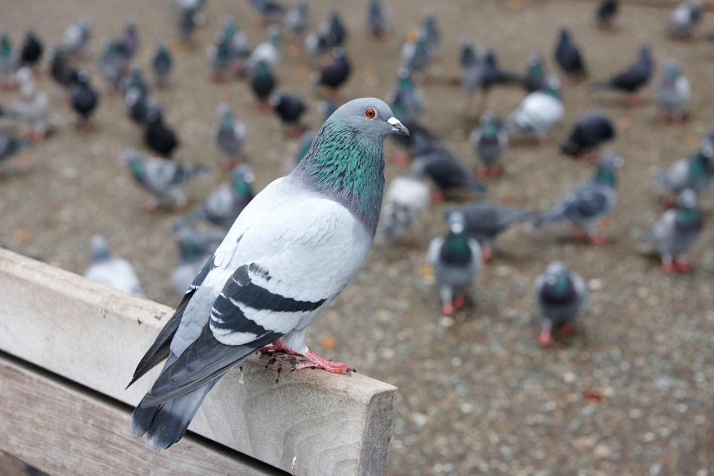 Comment faire fuir les pigeons - Faire fuir les pigeons ...